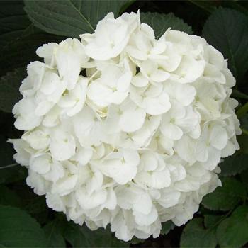 white-hydrangeas-extraweb
